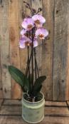 Stunning Phalaenopis Orchid